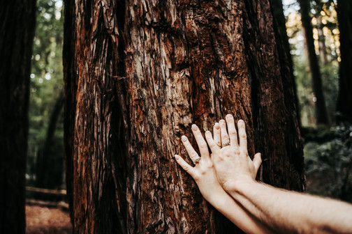 Two hands combined touching a giant redwood tree during their mini moon in Northern California