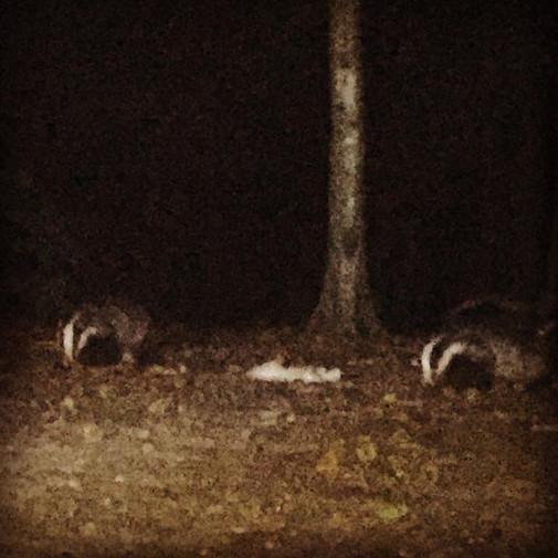 badger snuffling