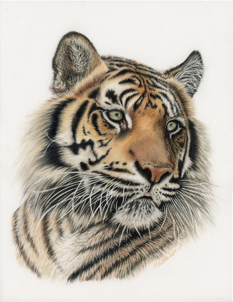 Young Tiger Portrait.jpg