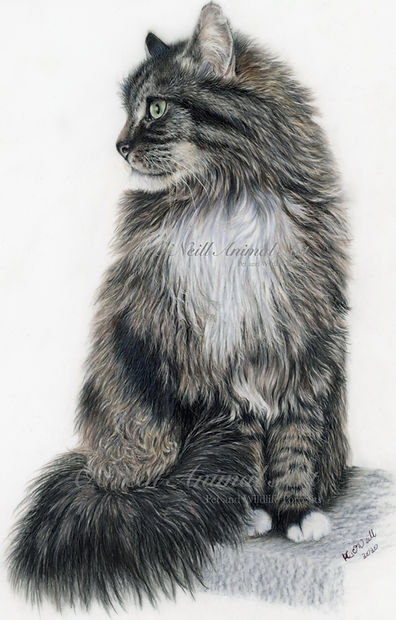 Long-haired-tabby-cat