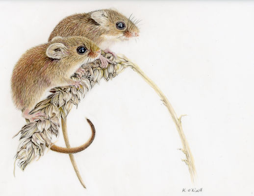 2 Harvest Mice 2nd20200419_13500372.jpg