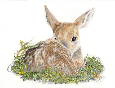 Fawn-for-web.jpg