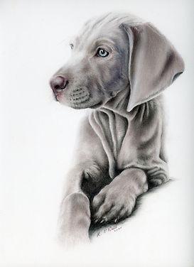 Weimaraner puppy. puppy. dog