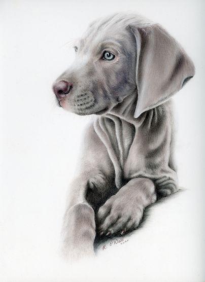 Weimaraner puppy20201018_11054256.jpg