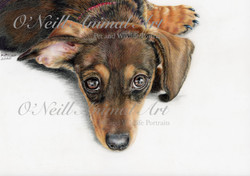 Dachshund-pup-for-web