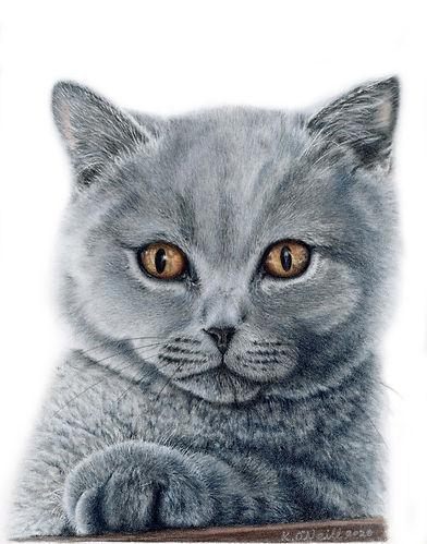 Tiddler - British Blue Shorthair20201209