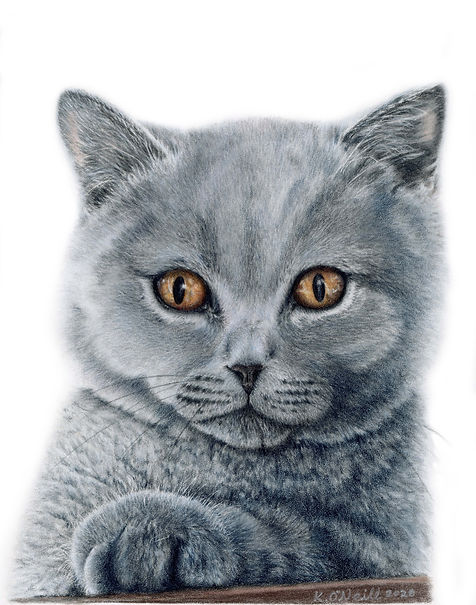 Tiddler - British Blue Shorthair20201209