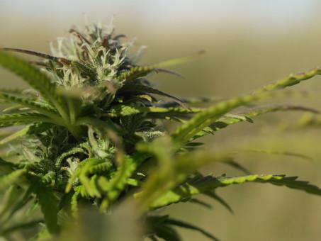 Cannabis - Hemp - Marijuana...which is it?