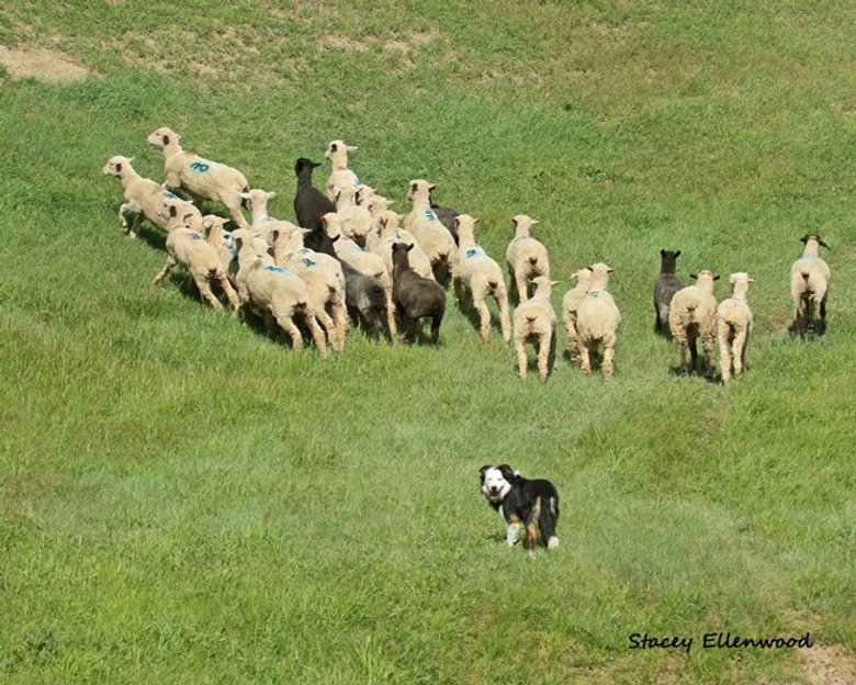 Stock Dogs, ranch dogs, border collies, sheep