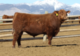 5L Big Iron 4558-28B, 5L Red Angus, Crump Red Angus, red angus bulls, red angus cattle, wyoming red angus