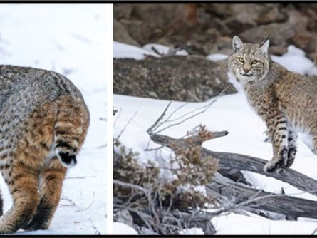 Bobcats... Our Stealthy Hunters