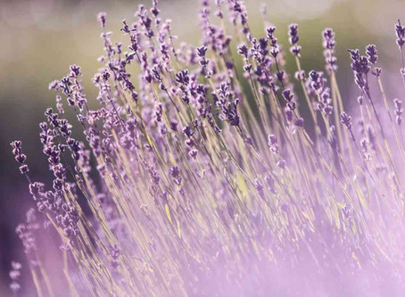 Things to know about Lavender Essential OIl