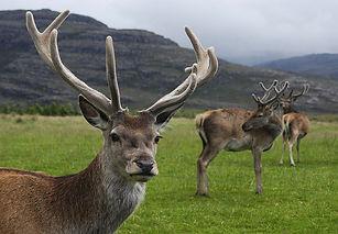 Red_deer_stag.jpg