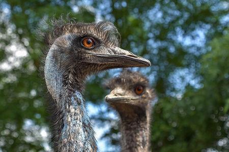 emu-australia-3479506_1920.jpg