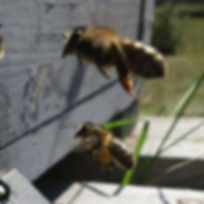 abejas_polen.JPG