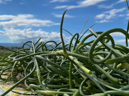 Curls of Potential: All About Garlic Scapes