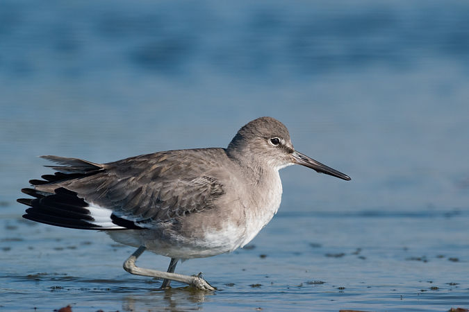 Willet - Winter Coat - Santa Clara River