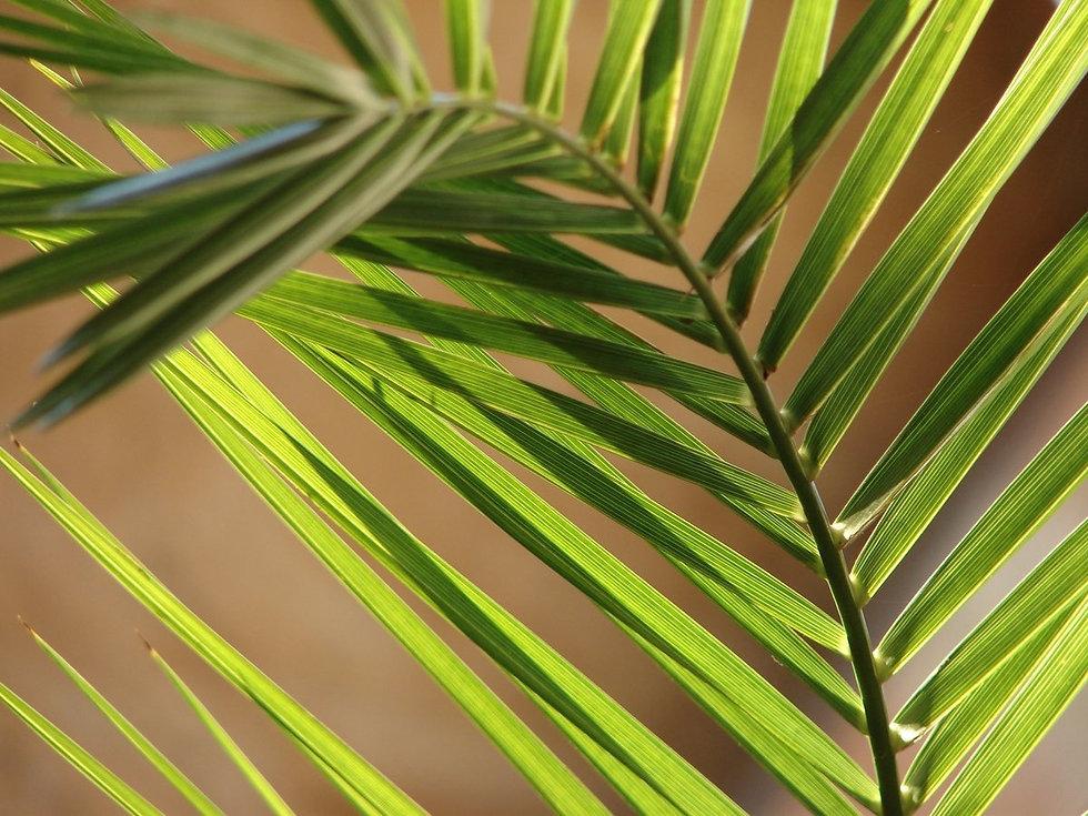 palm-leaf-2-1176071_edited.jpg