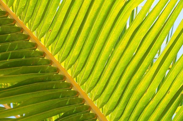 coconut-tree-leaf-1154830_edited.jpg