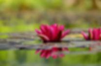 Water-lily-Lotus Flower Meditation Wallp