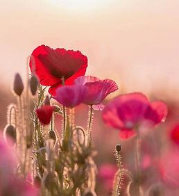 Healing Banner Red Poppies_1771.jpeg