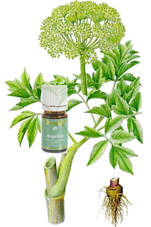 Angelica Essential Oil 2