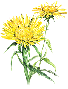 Inula Flower 7