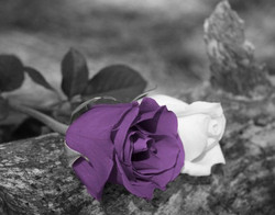 Purple Rose Black and White with Spalsh of Color