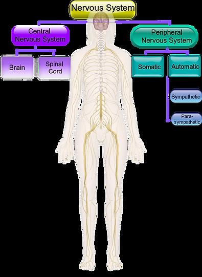 Nervous System.png