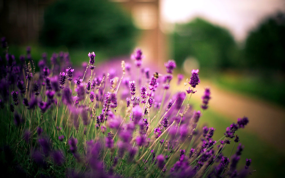 Lavender flowers Wallpaper.jpg