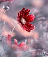 Healing Self Care Red Flower_1674.jpeg