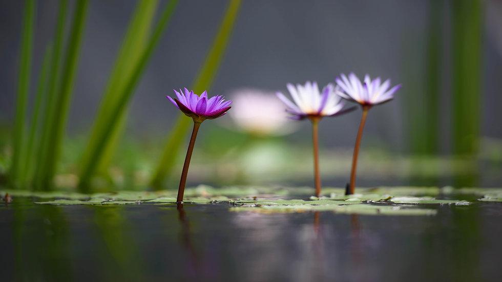 Wallpaper Lotus Flowers.jpg