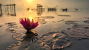 Wallpaper Lotus Flower Sunset.jpg