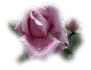 Pink Rose Banner