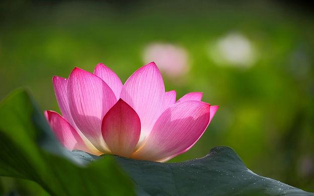 Meditation pink-lotus.jpg