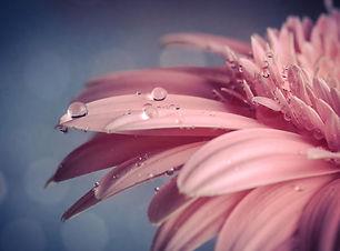 Flower Water Drops Pink Wallpaper.jpg