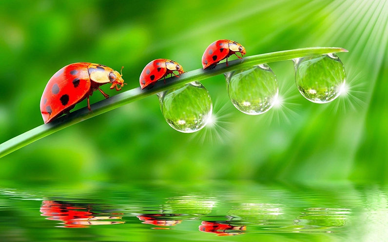 Ladybugs and Waterdrops Wallpaper Green