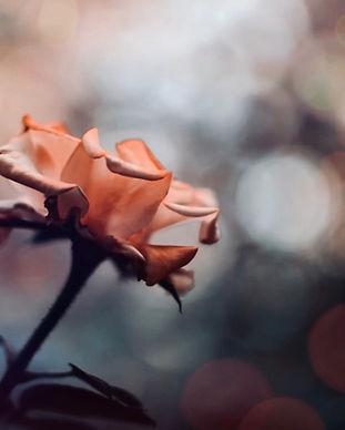 Meditation Rose_1772.jpeg
