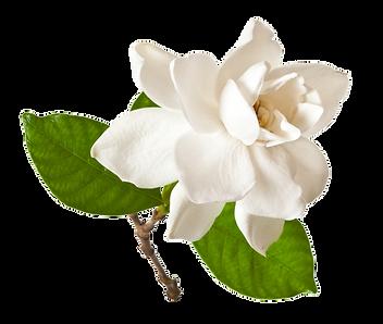 Gardenia_Fruit