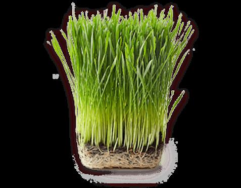 fruit-wheatgrass-header