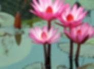 Meditation Lotus Flowers Pink Wallpaper.