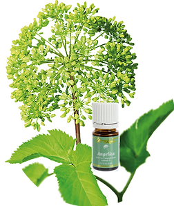 Angelica Essential Oil