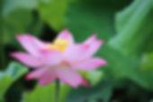 Lotus Flower Wallpaper-1082651.jpg