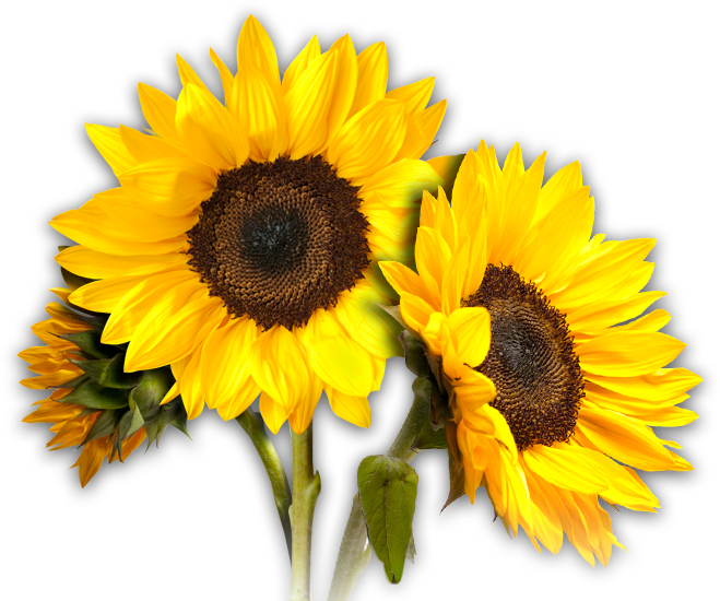 sunflower_13400