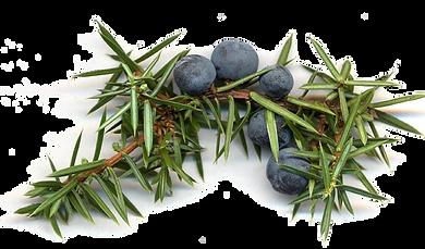 Juniper Juniperus_communis