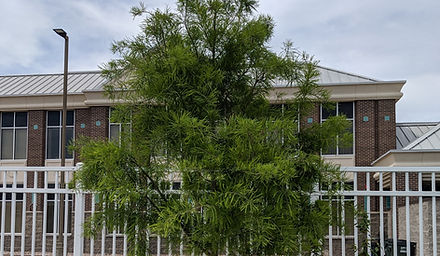 Redbud Park Tree (2).jpg