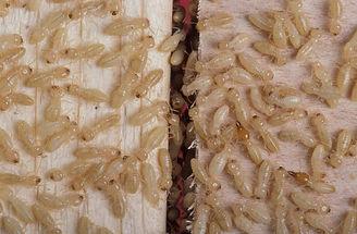 white_ants_termites_147.jpg