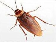 Amercian Cockroach 3.jpg
