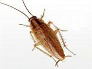 German Cockroach 2.jpg
