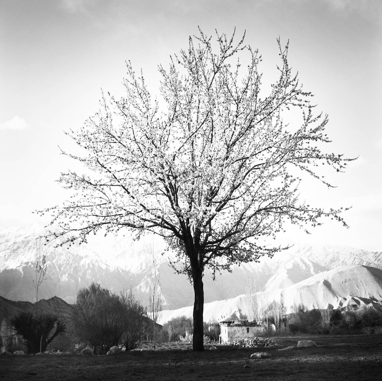 Almond Tree, Ladakh